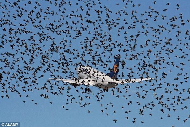 Hejna ptáků jsou pro letadla velkým nebezpečím. Zdroj: DailyMailCo.uk